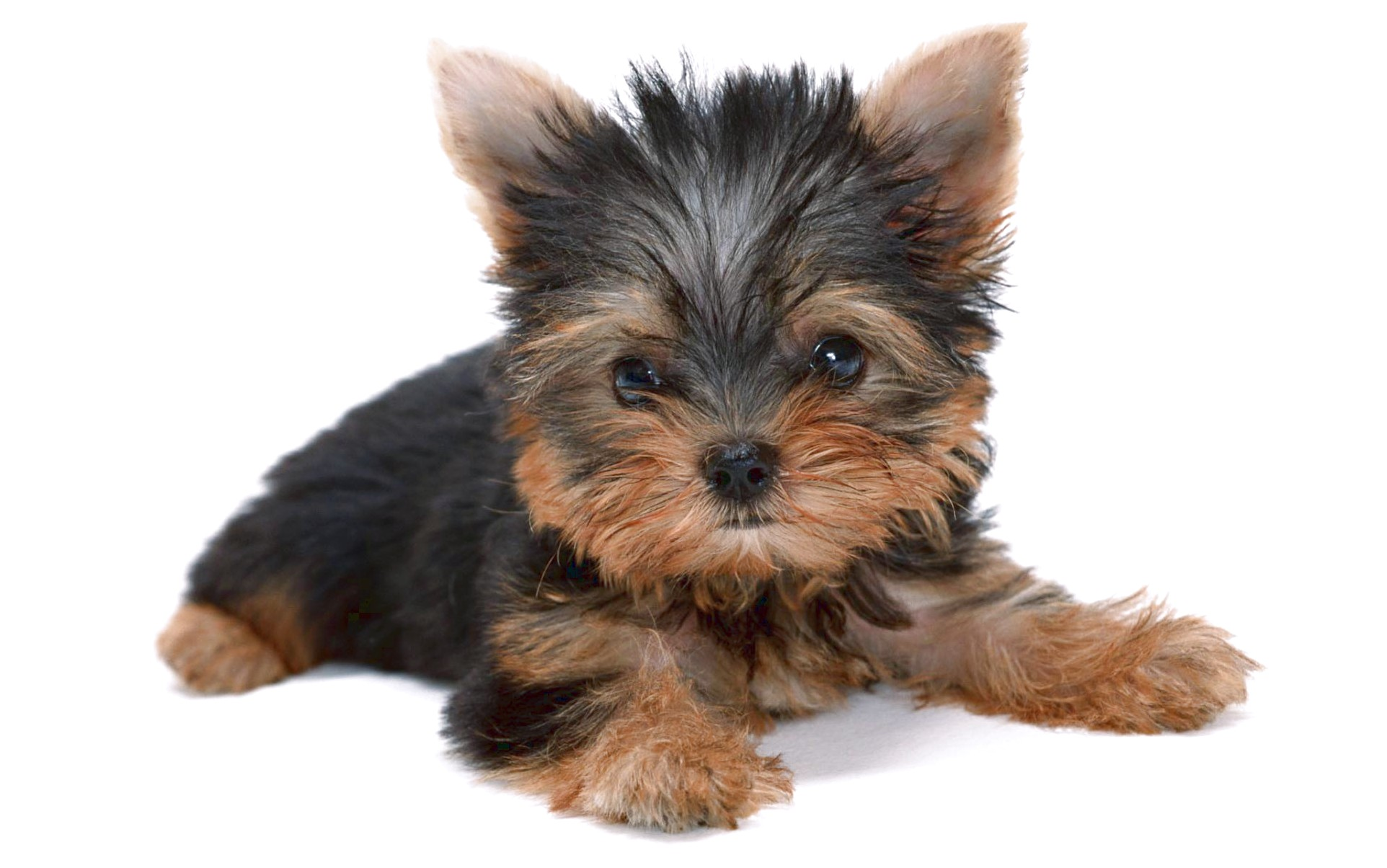 yorkshire terrier puppies for sale york