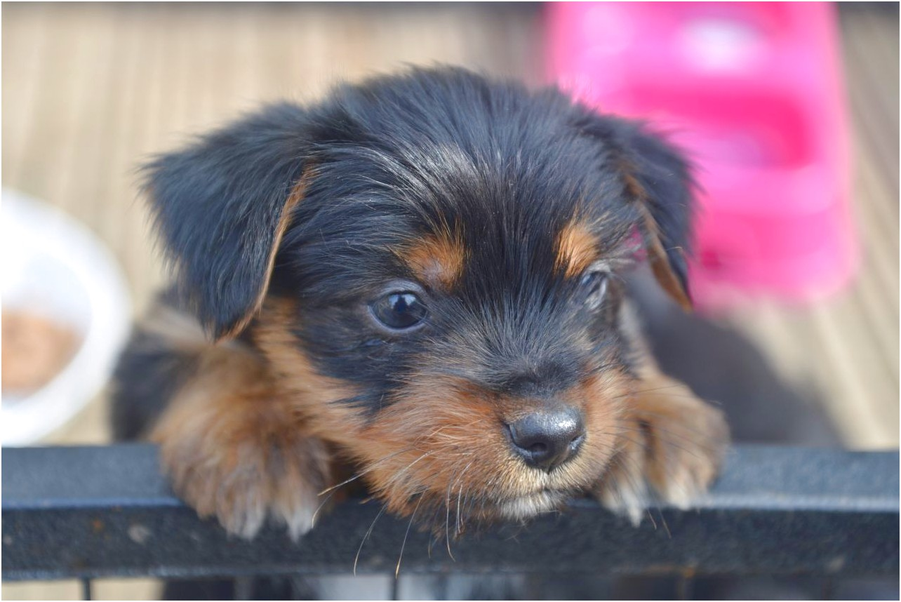 yorkshire terrier puppies hampshire