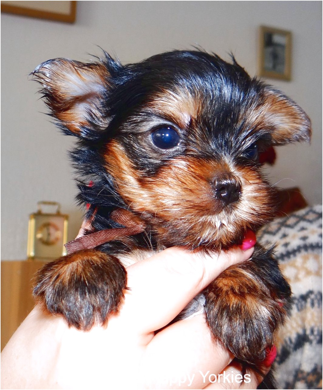 yorkshire terrier puppies harrogate