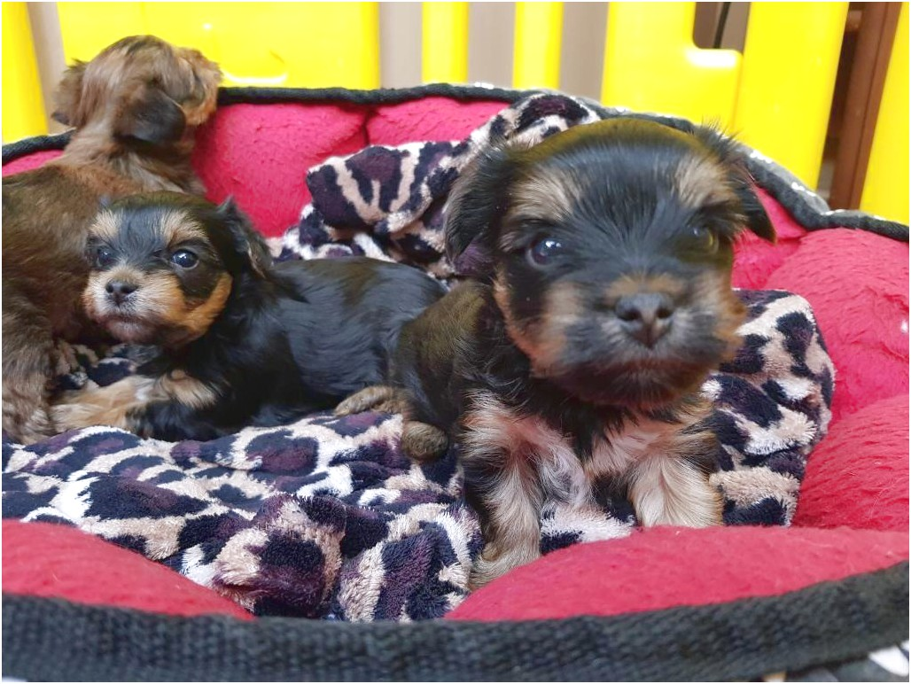 yorkshire terrier puppies hertfordshire