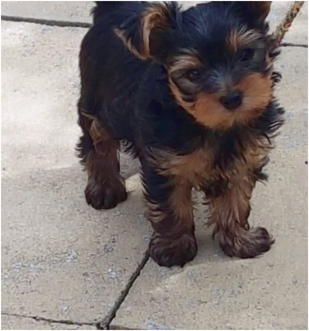yorkshire terrier puppies hull