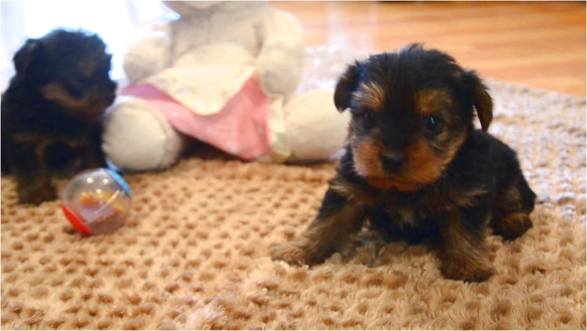 yorkshire terrier puppies huntsville al