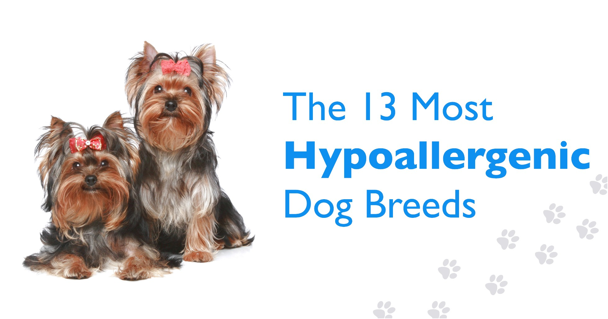 yorkshire terrier puppies hypoallergenic