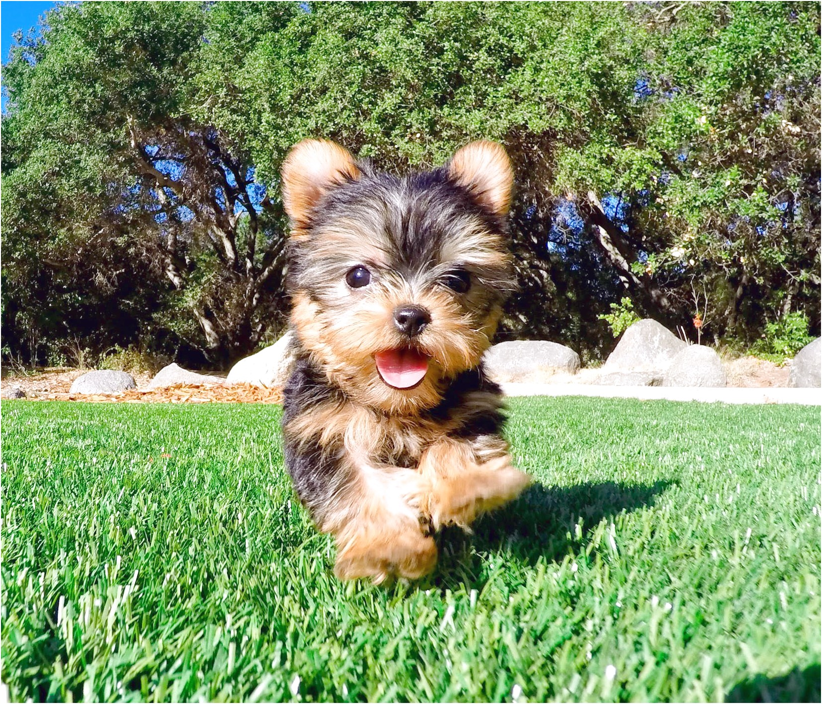 yorkshire terrier puppies images