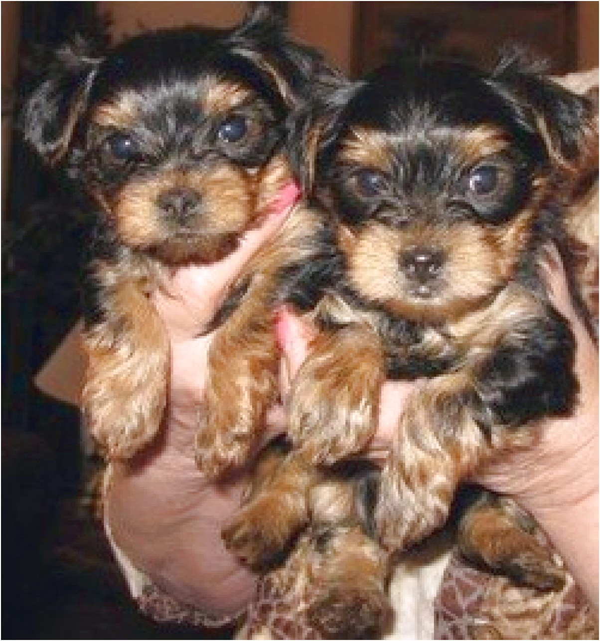yorkshire terrier puppies in california