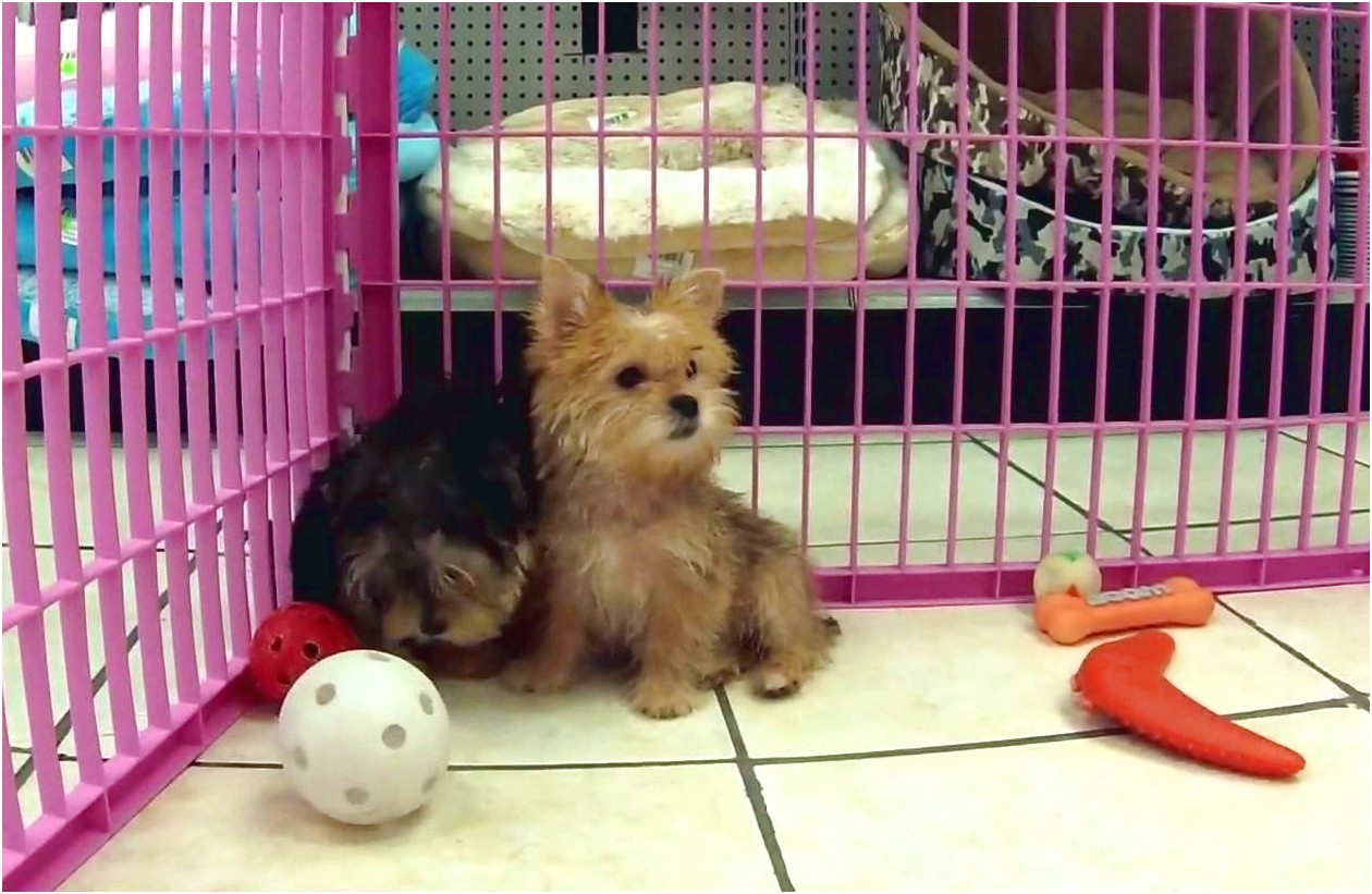 yorkshire terrier puppies in maryland