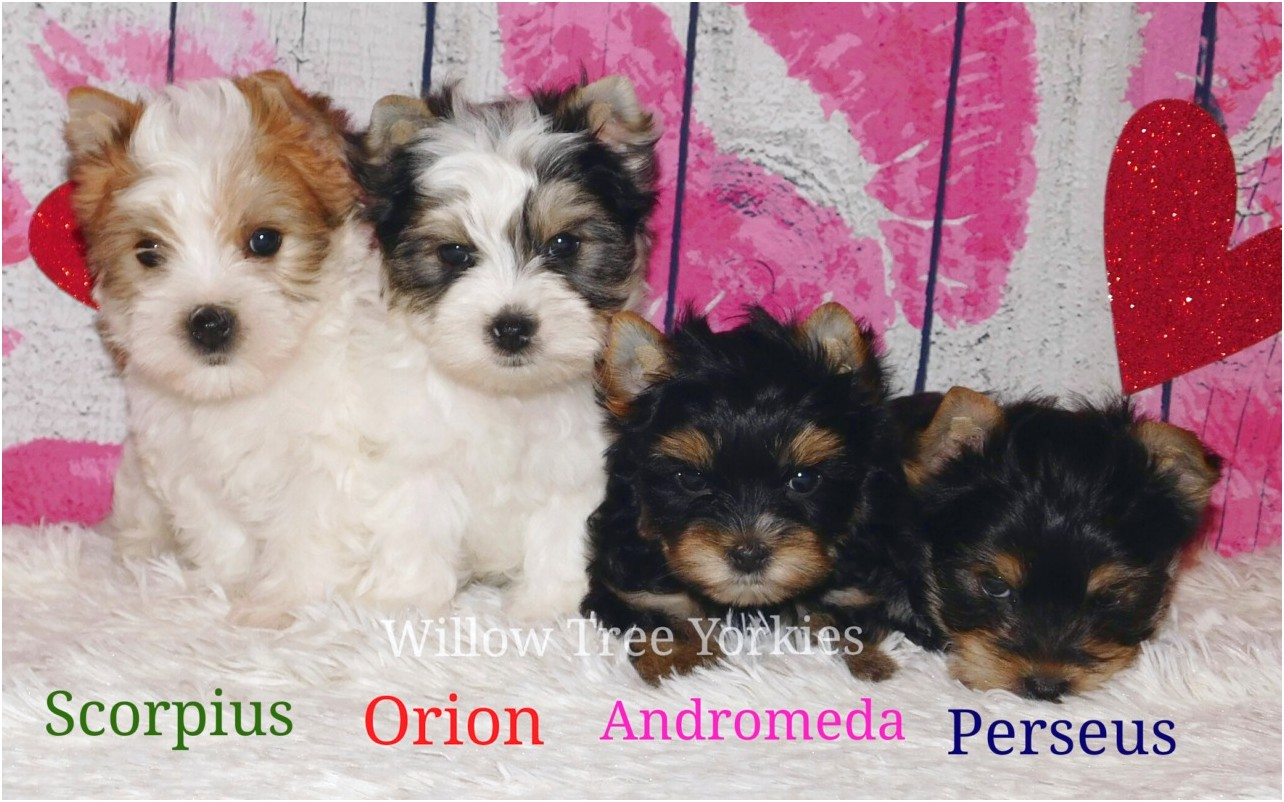yorkshire terrier puppies in ohio