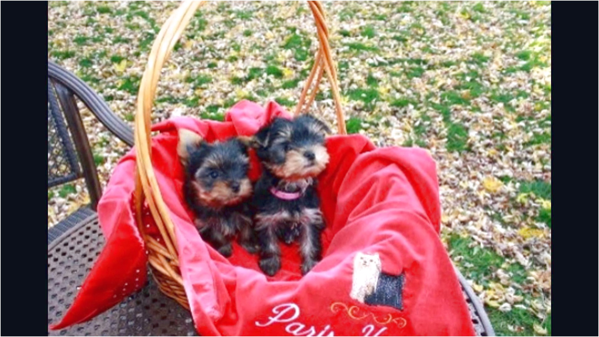 yorkshire terrier puppies in pa