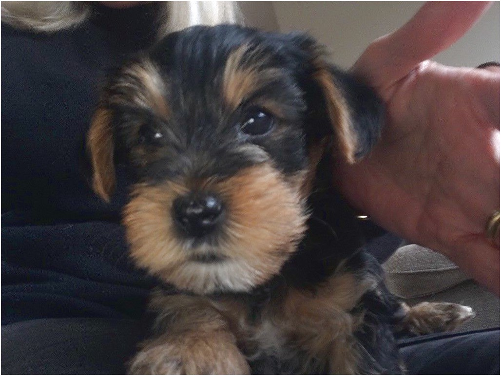 yorkshire terrier puppies kidderminster