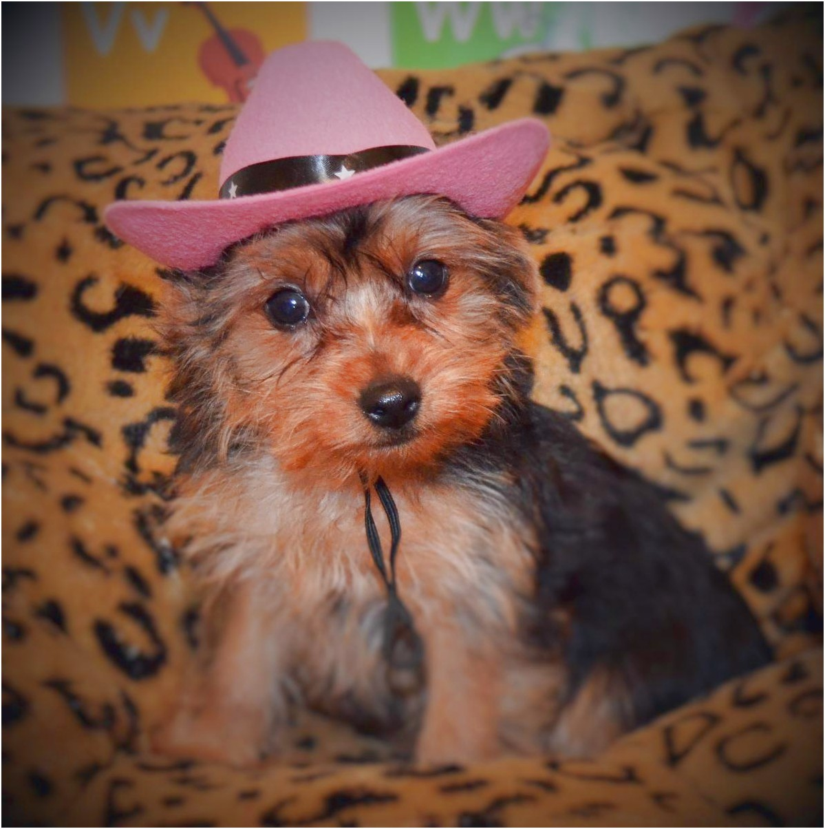 yorkshire terrier puppies knoxville tn