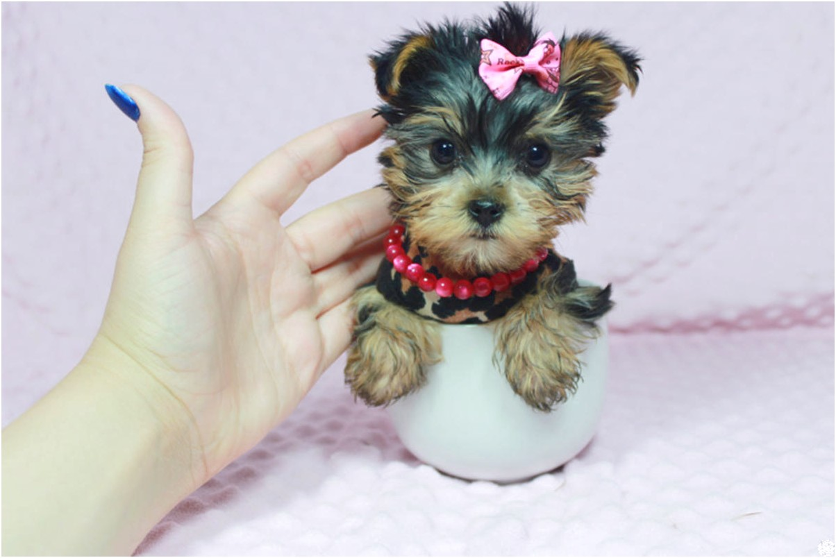 yorkshire terrier puppies las vegas