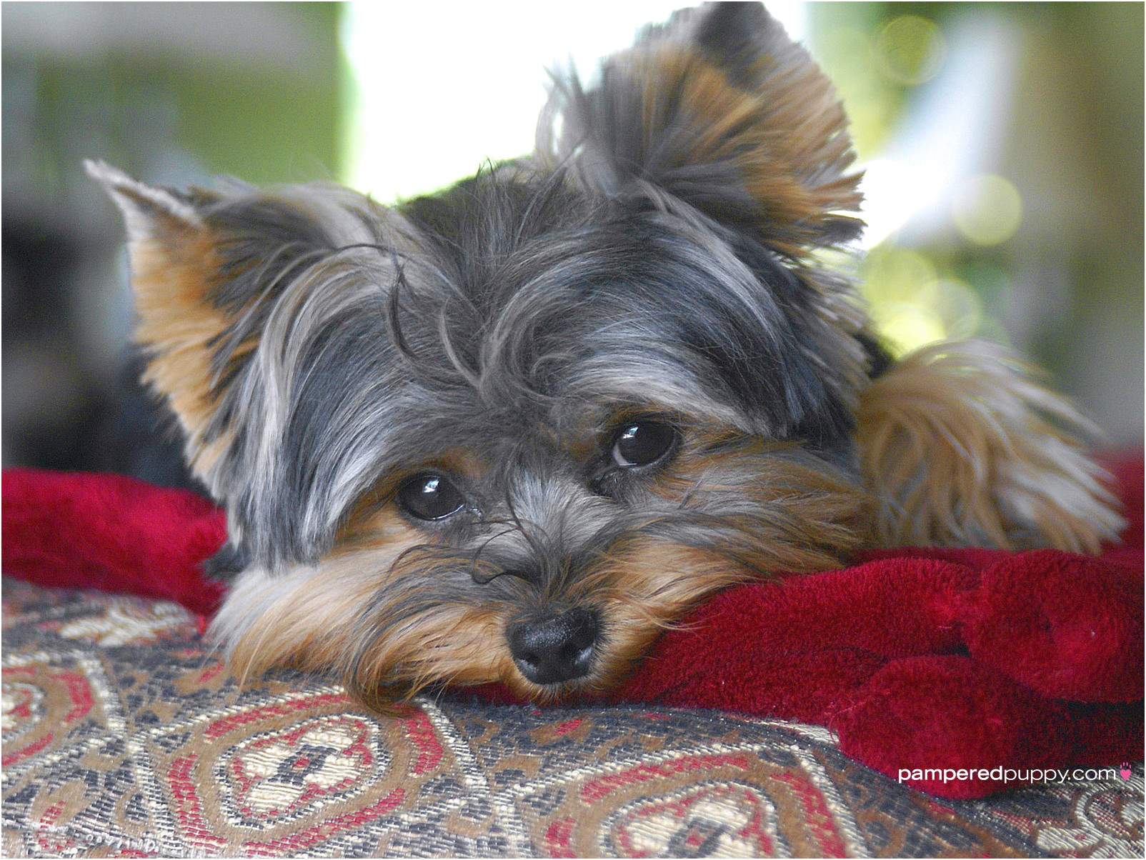 yorkshire terrier puppies lincolnshire