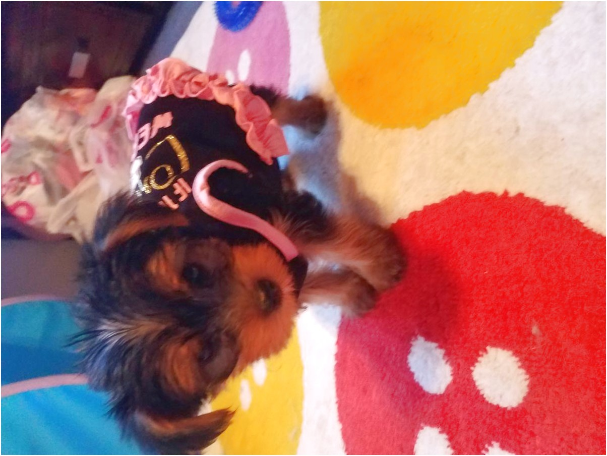 yorkshire terrier puppies los angeles