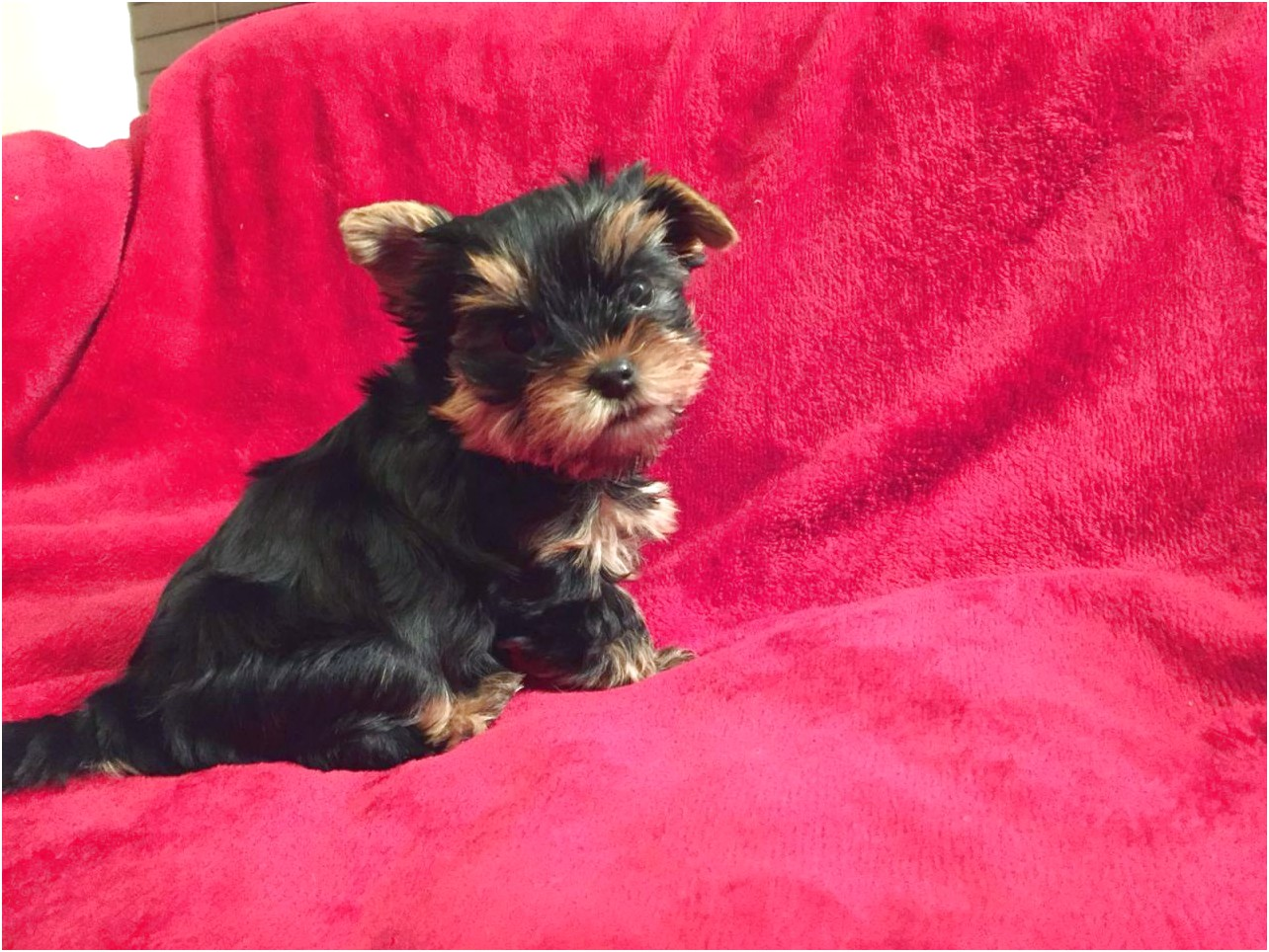 yorkshire terrier puppies manchester