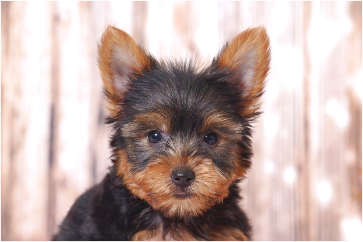 yorkshire terrier puppies maryland