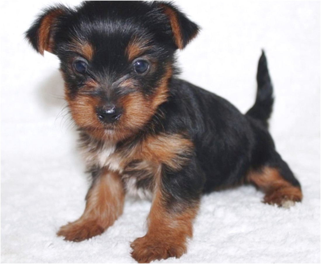 yorkshire terrier puppies massachusetts