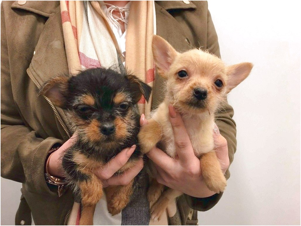 yorkshire terrier puppies middlesbrough