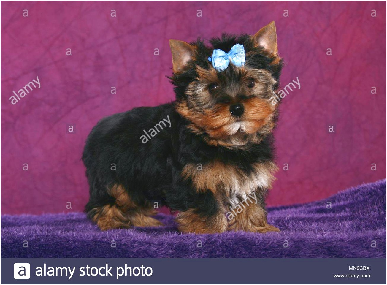 yorkshire terrier puppies mn