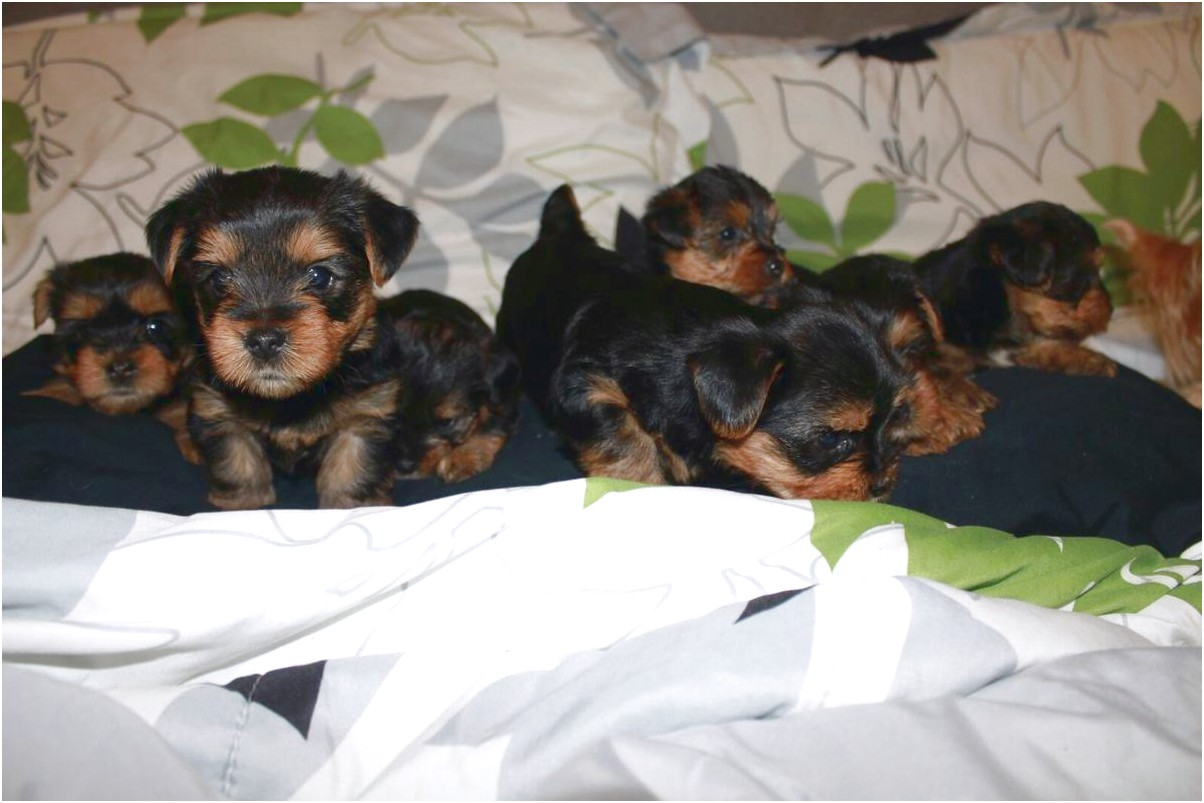 yorkshire terrier puppies new jersey