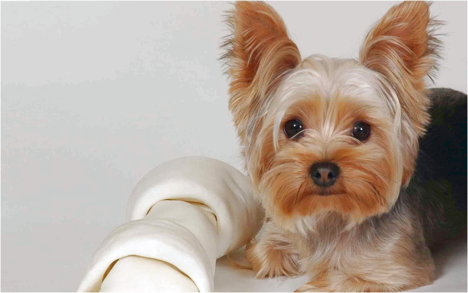 yorkshire terrier puppies no papers