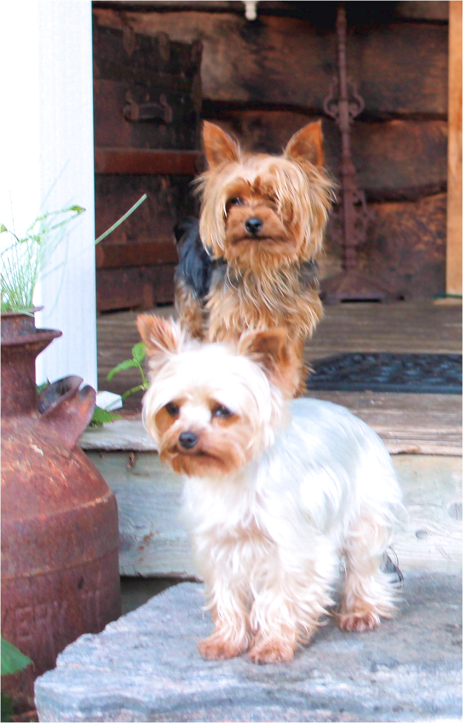 yorkshire terrier puppies ontario