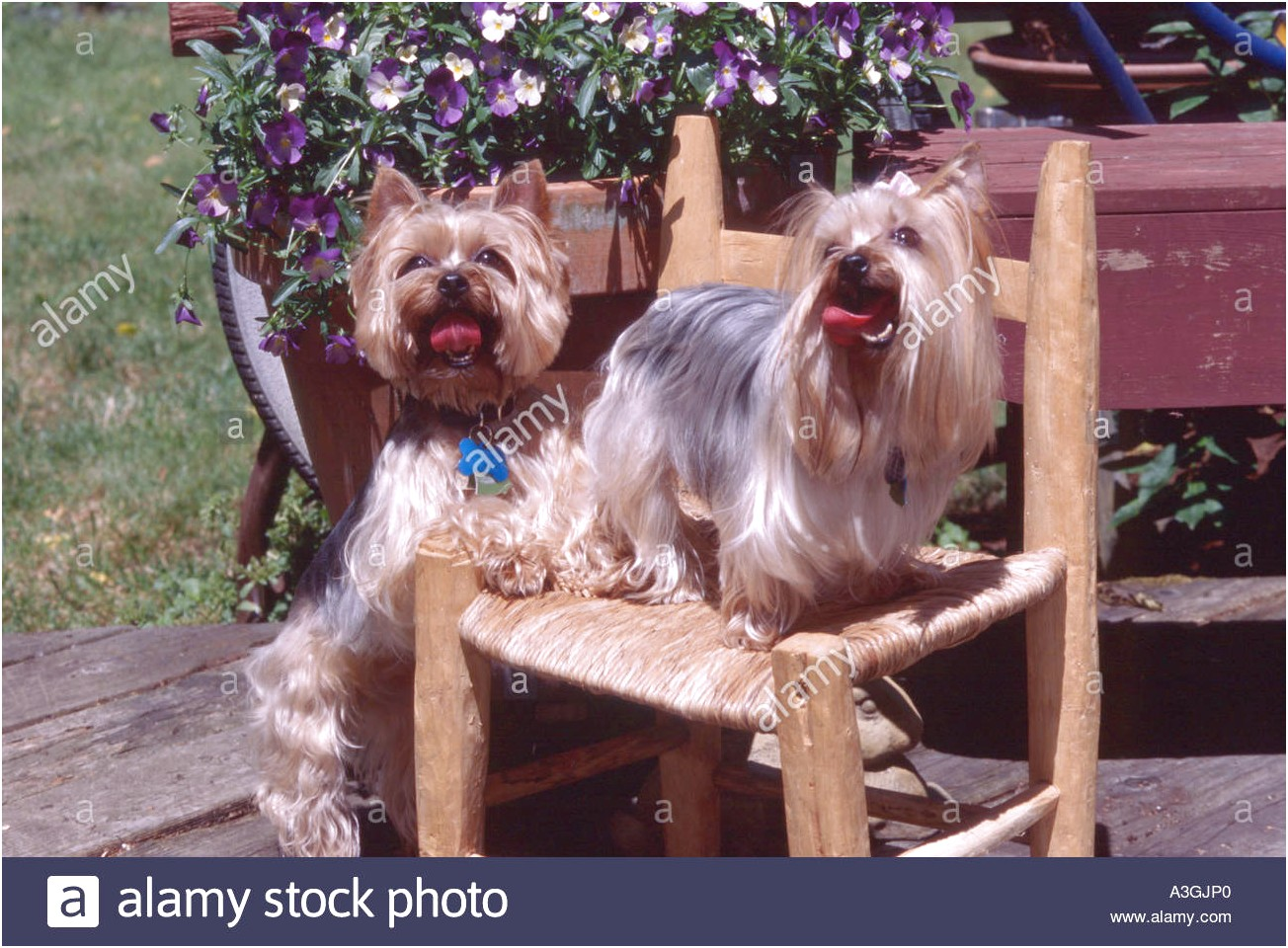 yorkshire terrier puppies oregon