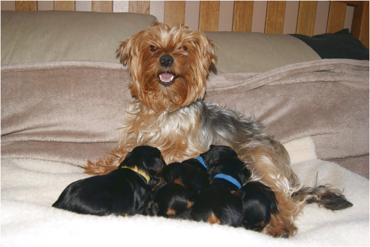 yorkshire terrier puppies oxfordshire