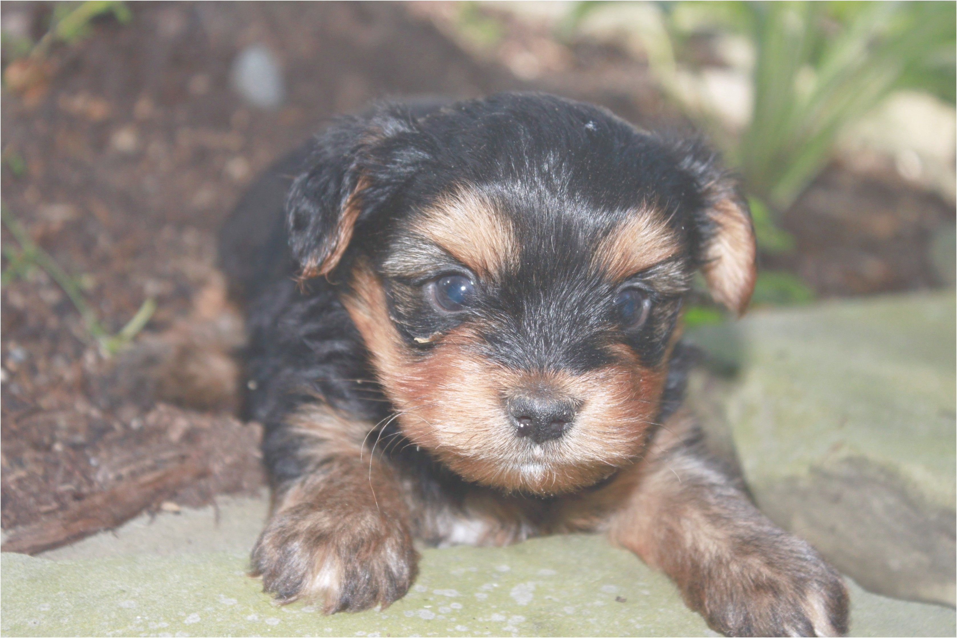 yorkshire terrier puppies pa