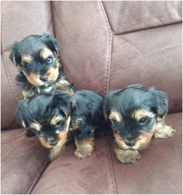 yorkshire terrier puppies peterborough