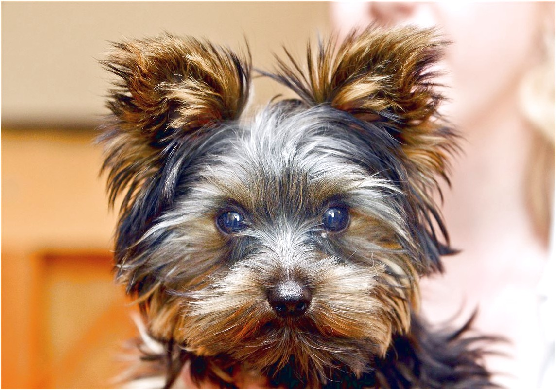 yorkshire terrier puppies pittsburgh