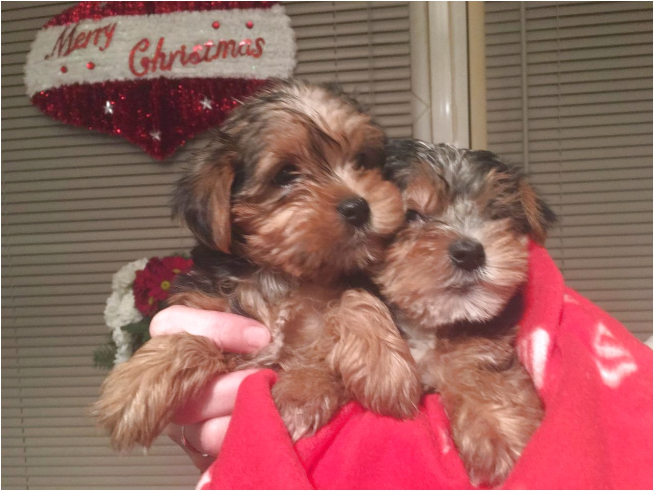 yorkshire terrier puppies ready for christmas