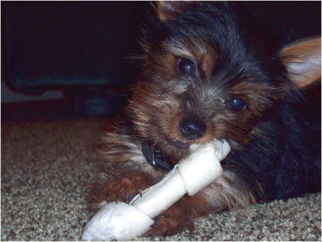 yorkshire terrier puppies rehoming