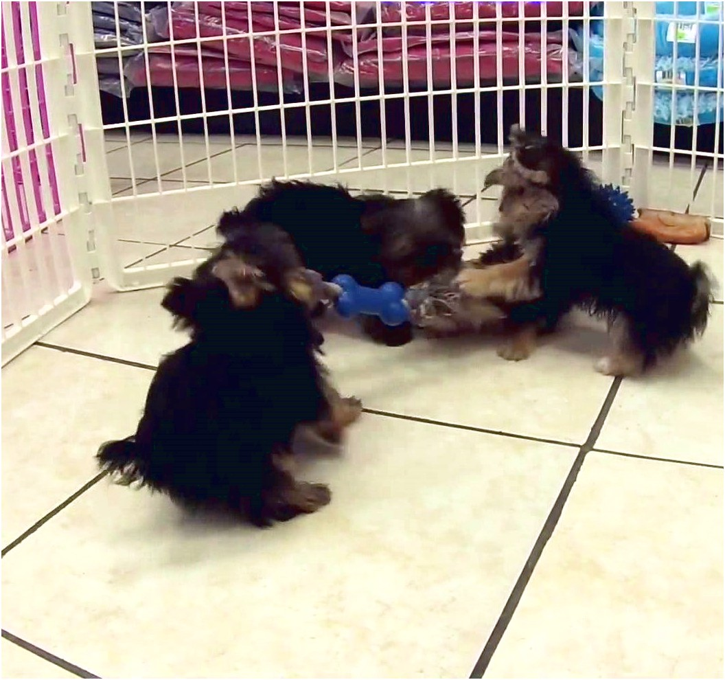 yorkshire terrier puppies sale mn