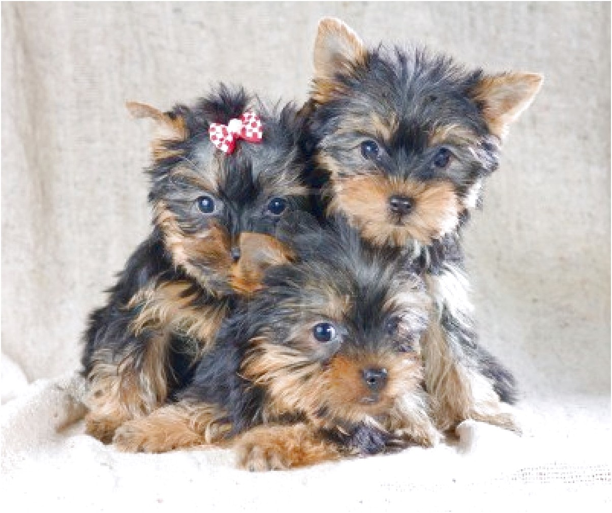 yorkshire terrier puppies sale