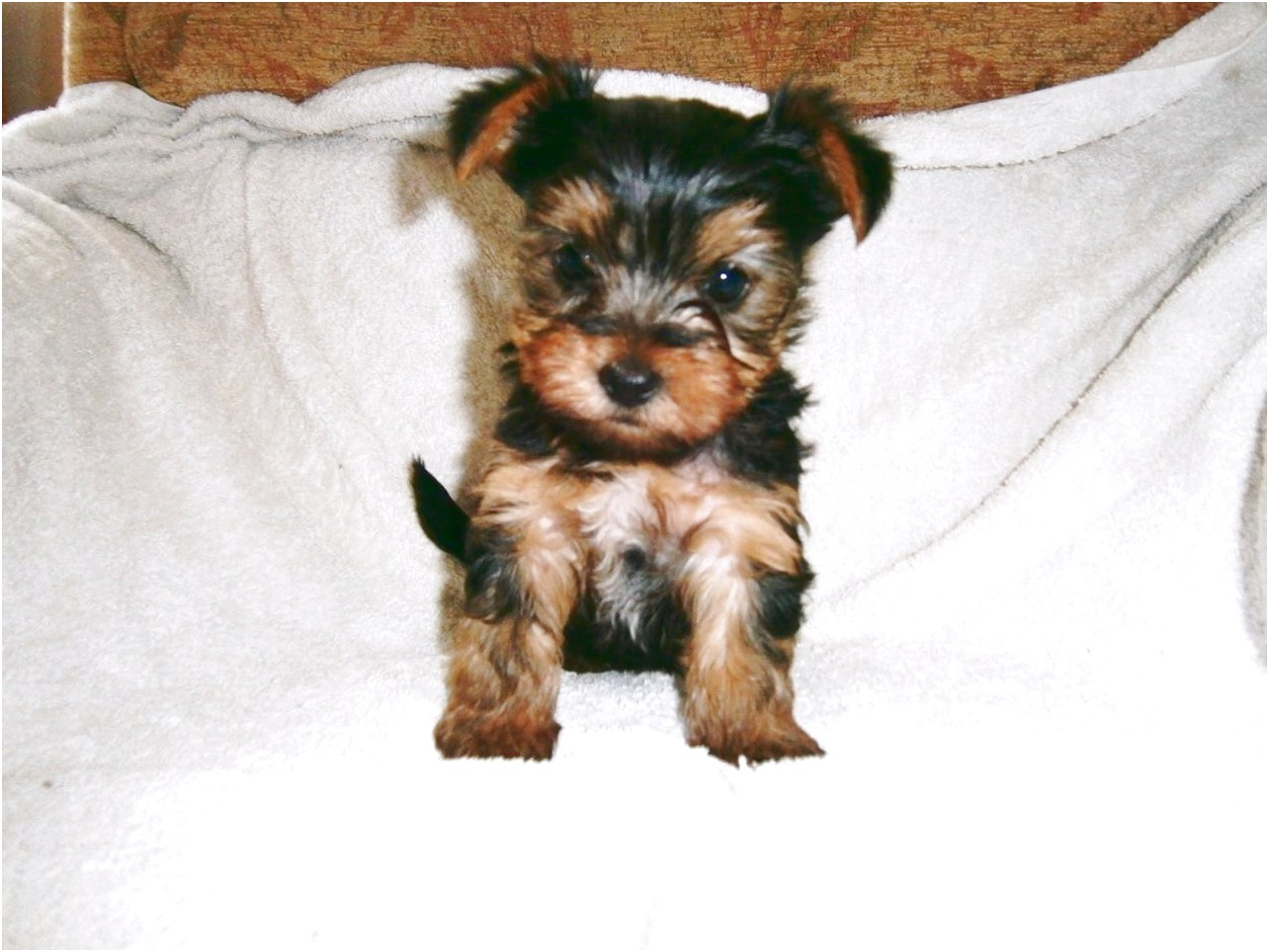 yorkshire terrier puppies scarborough