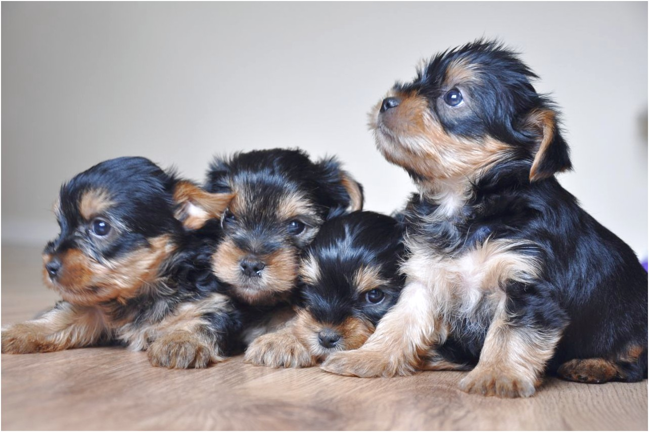 yorkshire terrier puppies scotland