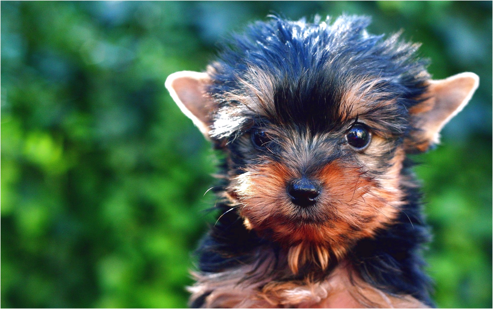 yorkshire terrier puppies south wales