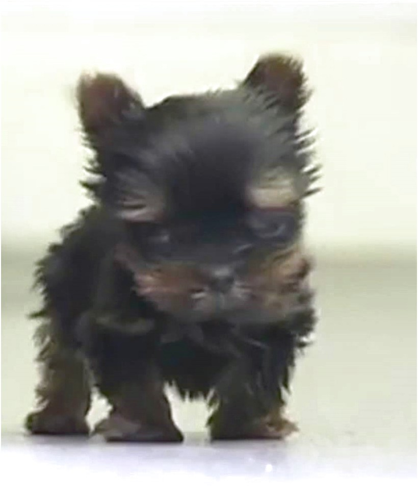 yorkshire terrier puppies southampton