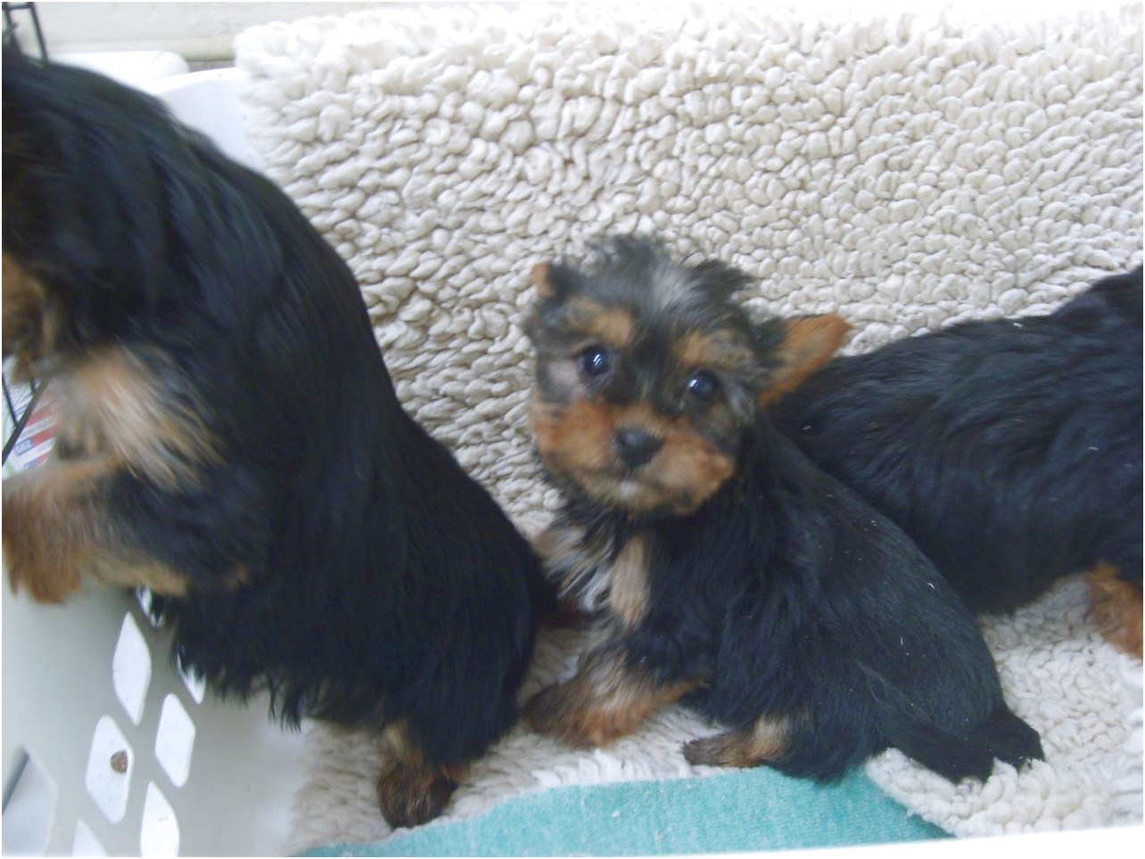 yorkshire terrier puppies stoke on trent