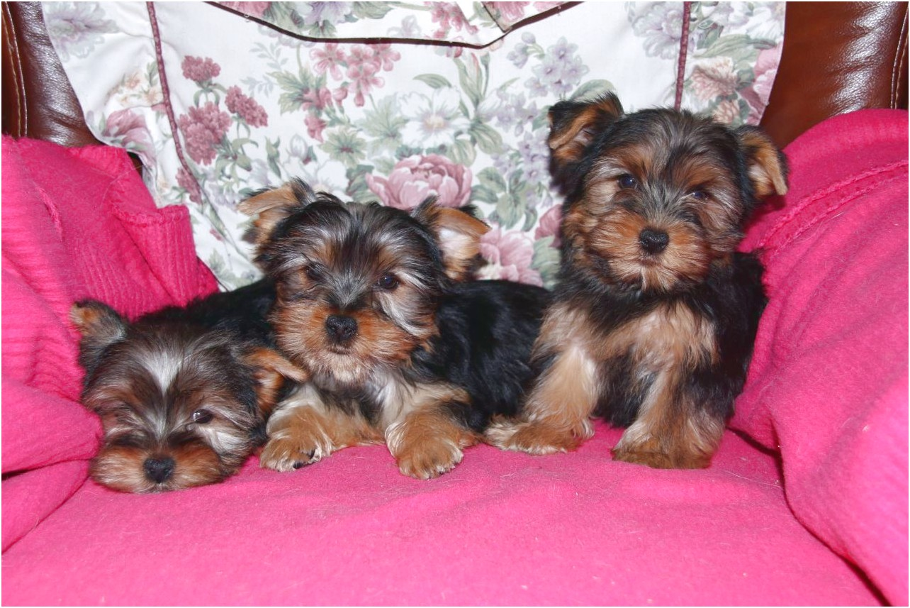 yorkshire terrier puppies taunton