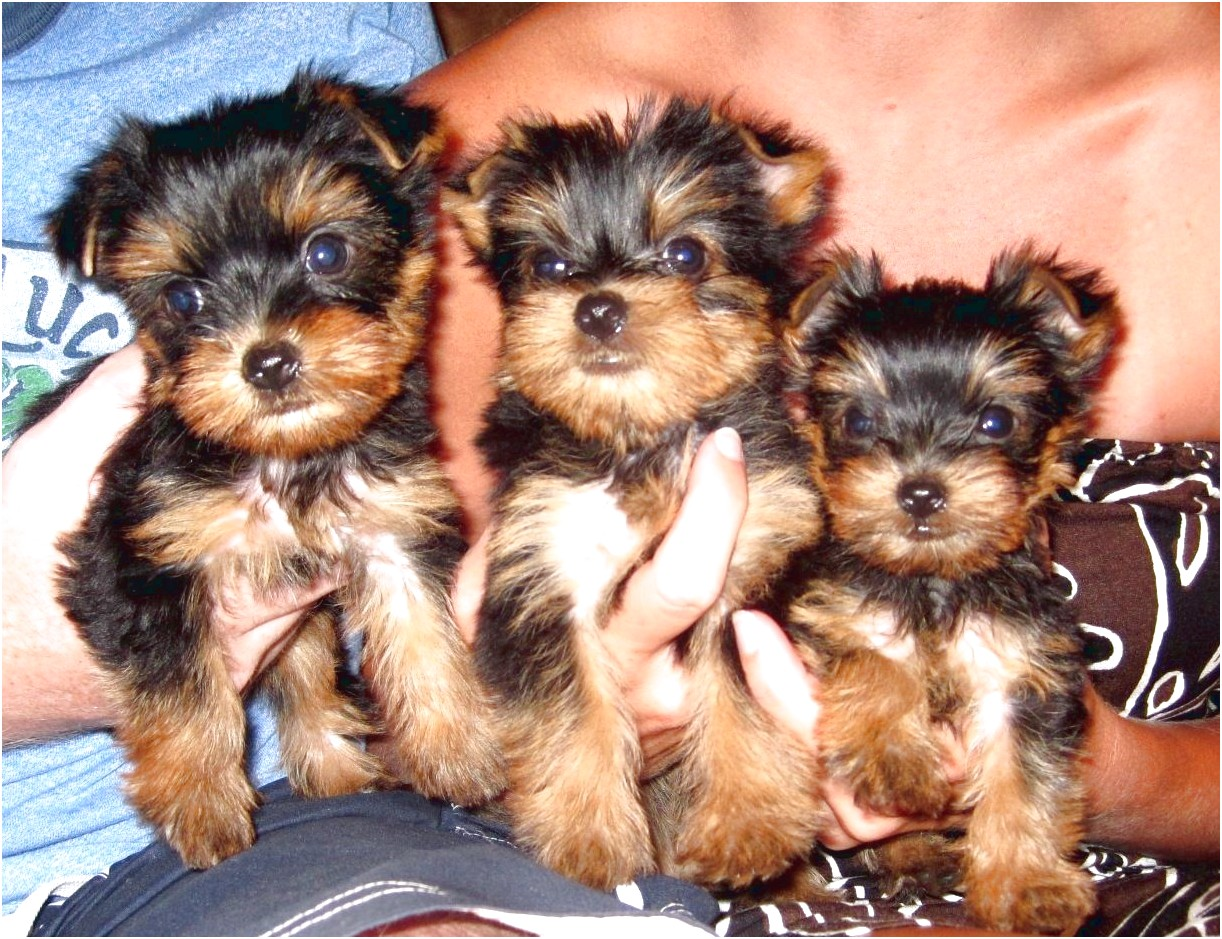 yorkshire terrier puppies texas