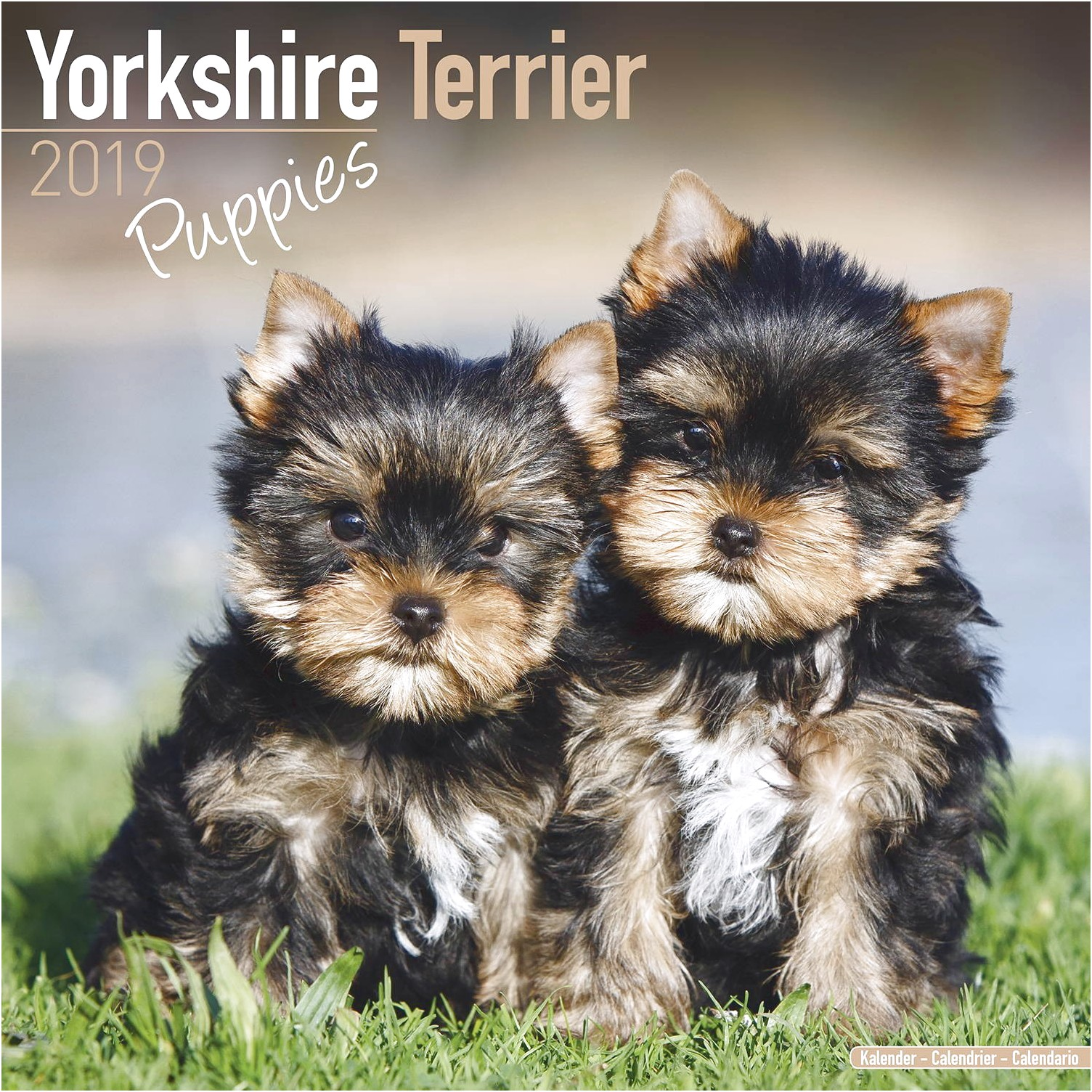 yorkshire terrier puppies to buy