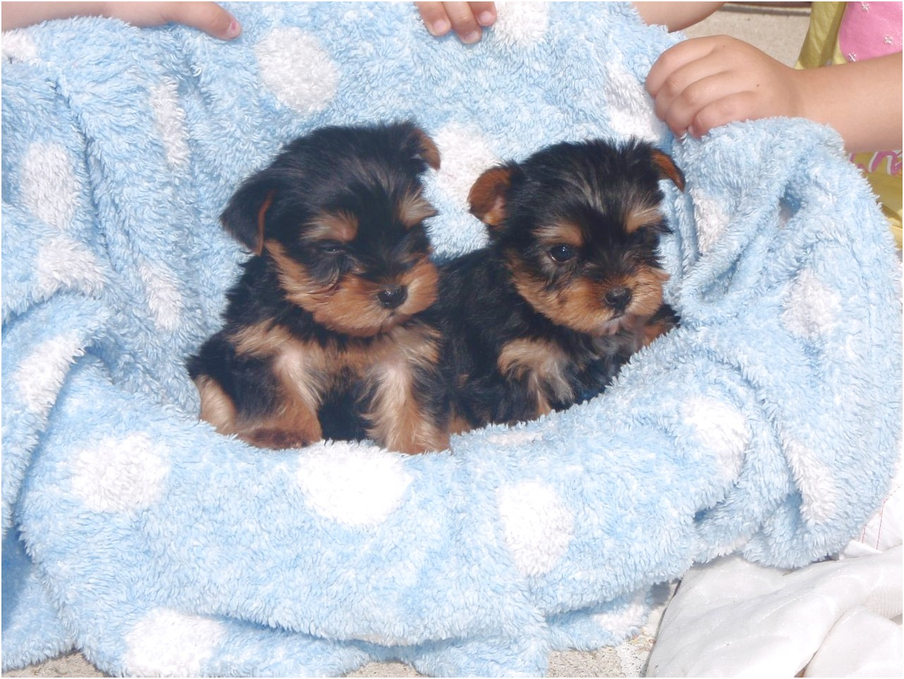 yorkshire terrier puppies up for adoption