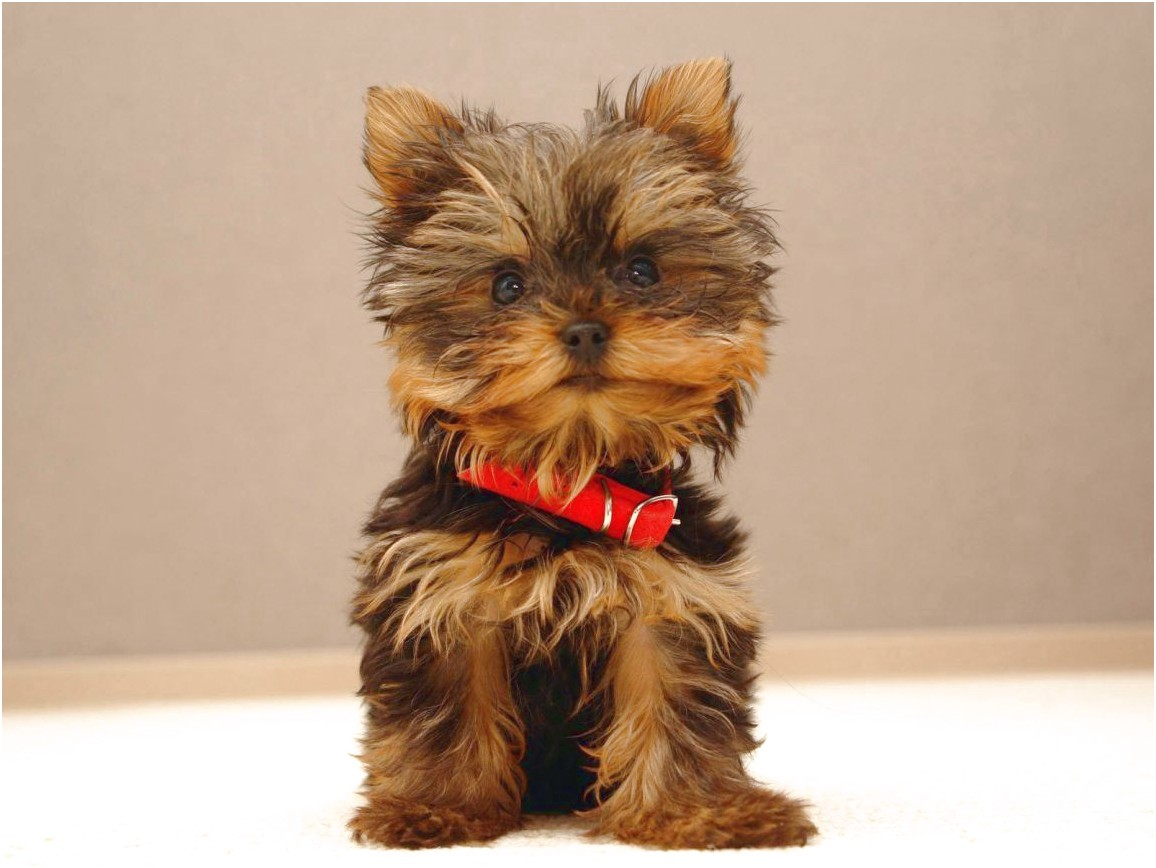 yorkshire terrier puppies vancouver island