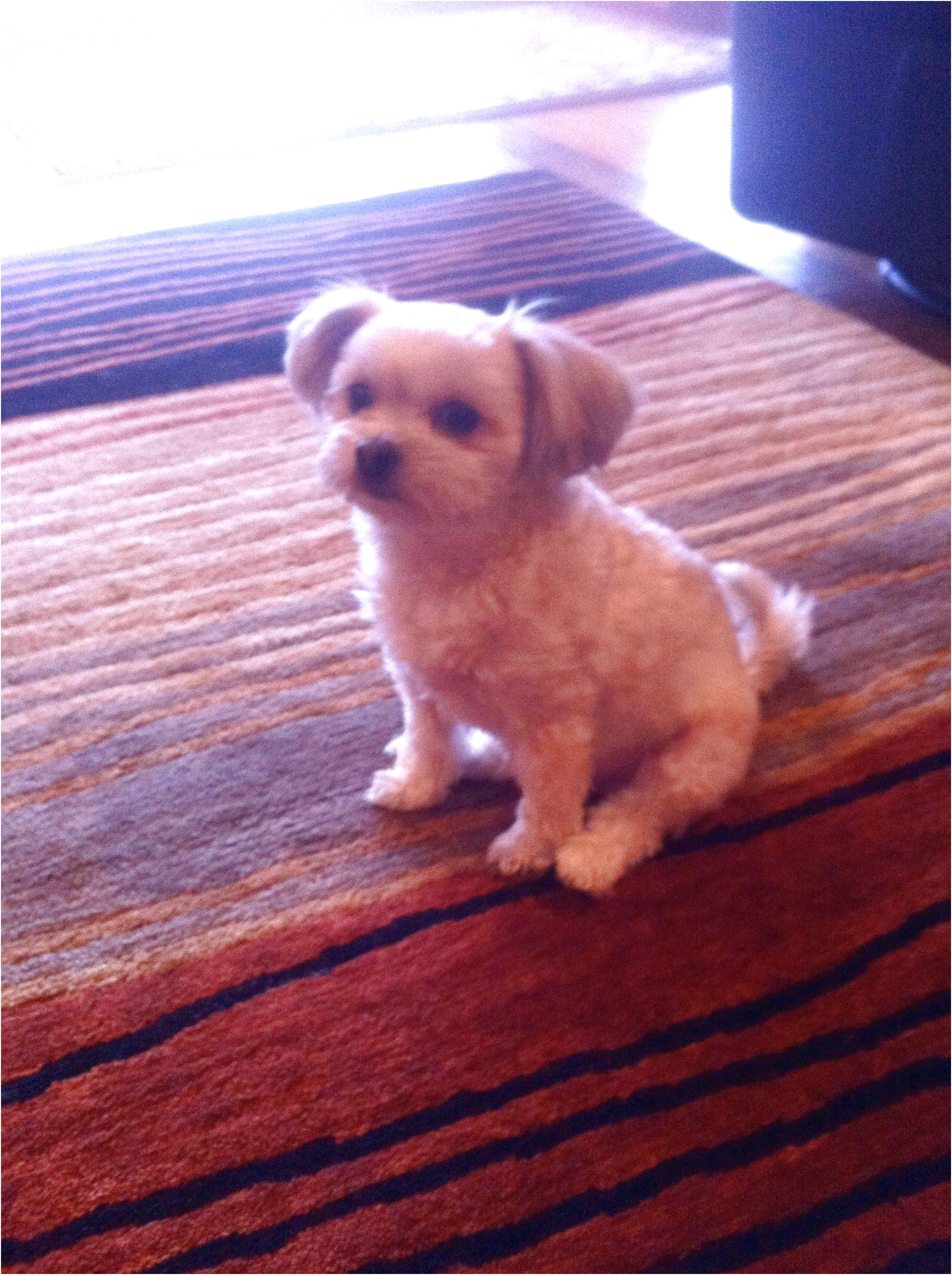 yorkshire terrier puppies vancouver