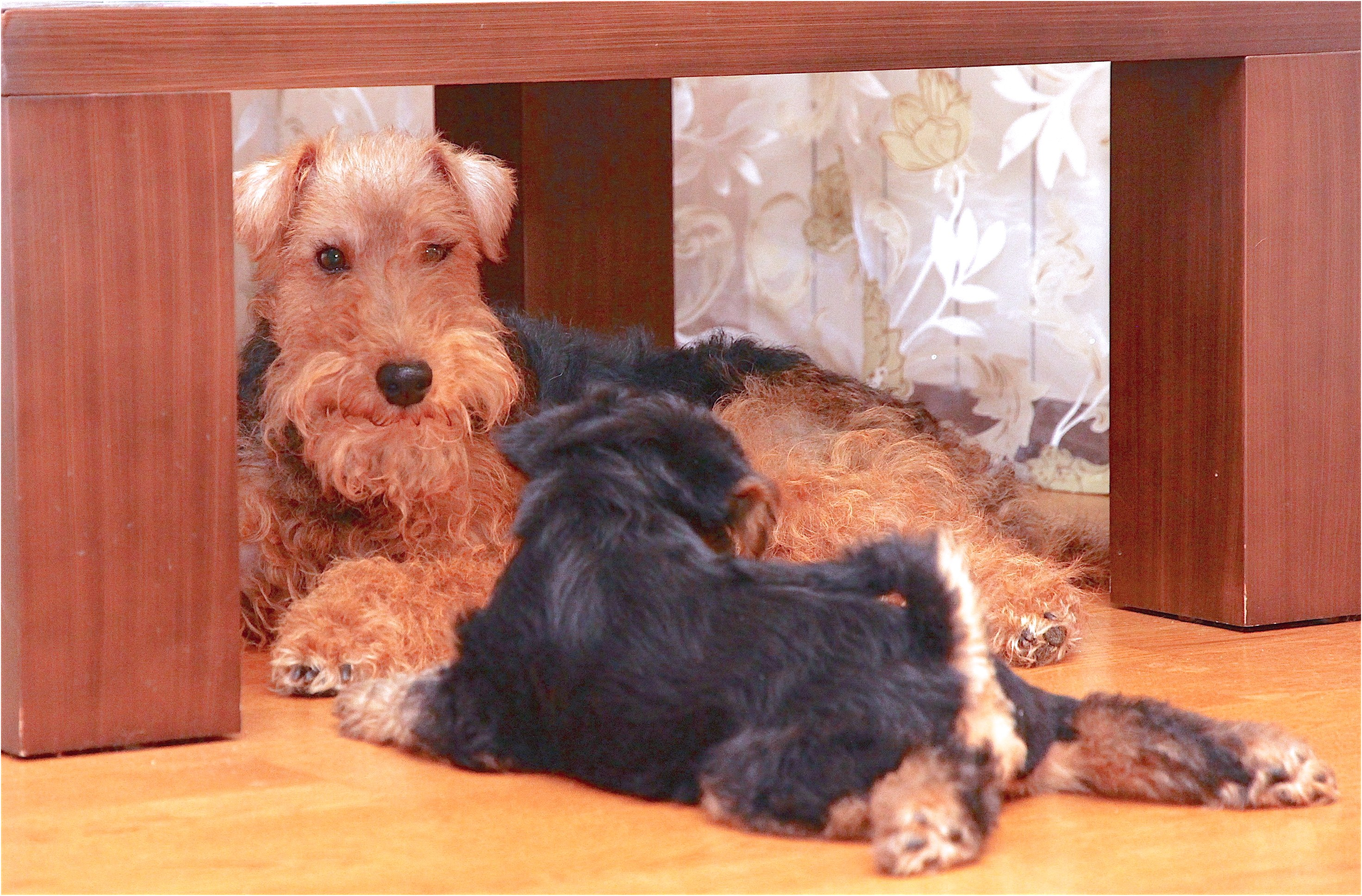 yorkshire terrier puppies wales
