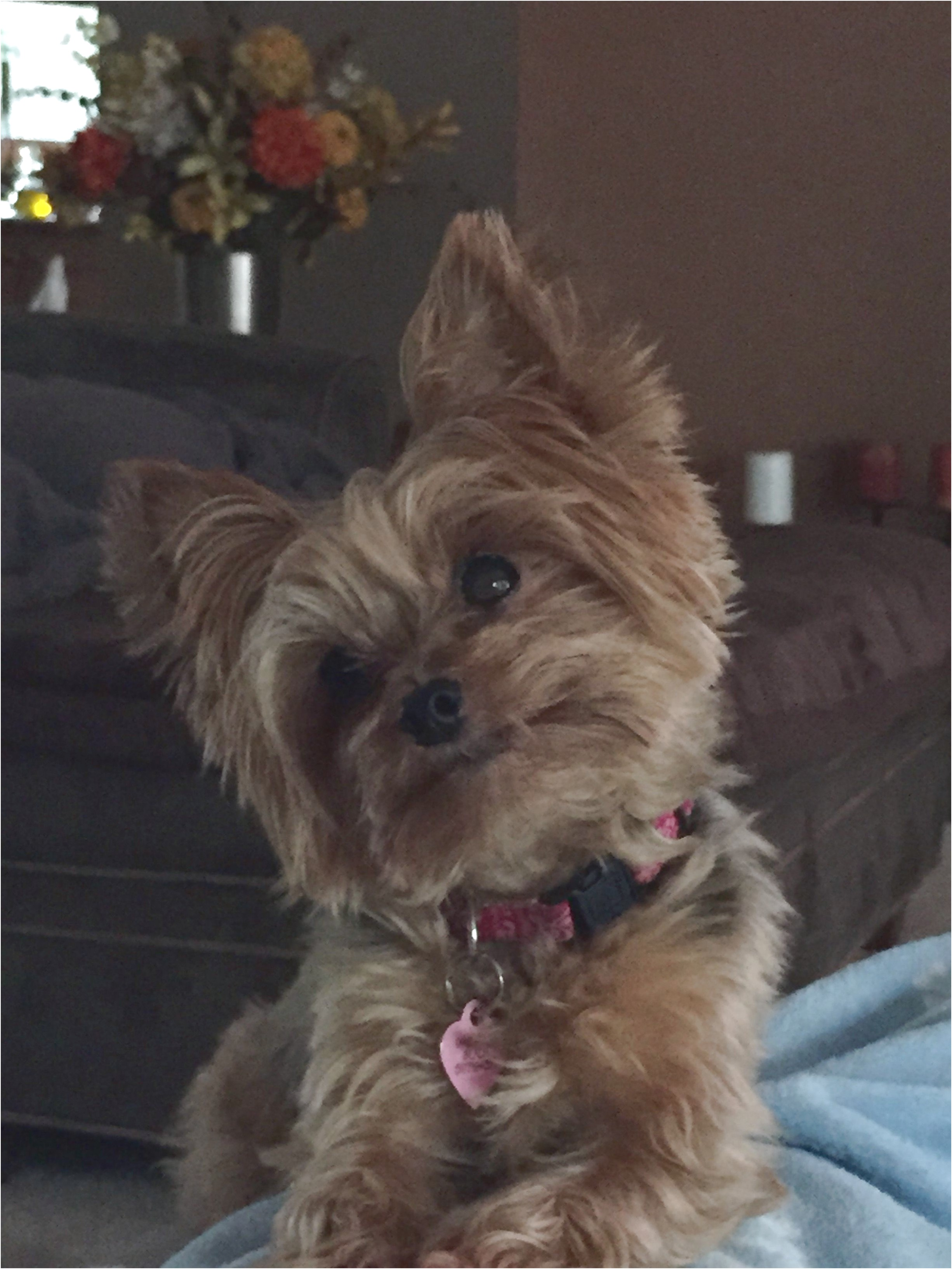 yorkshire terrier puppies wirral