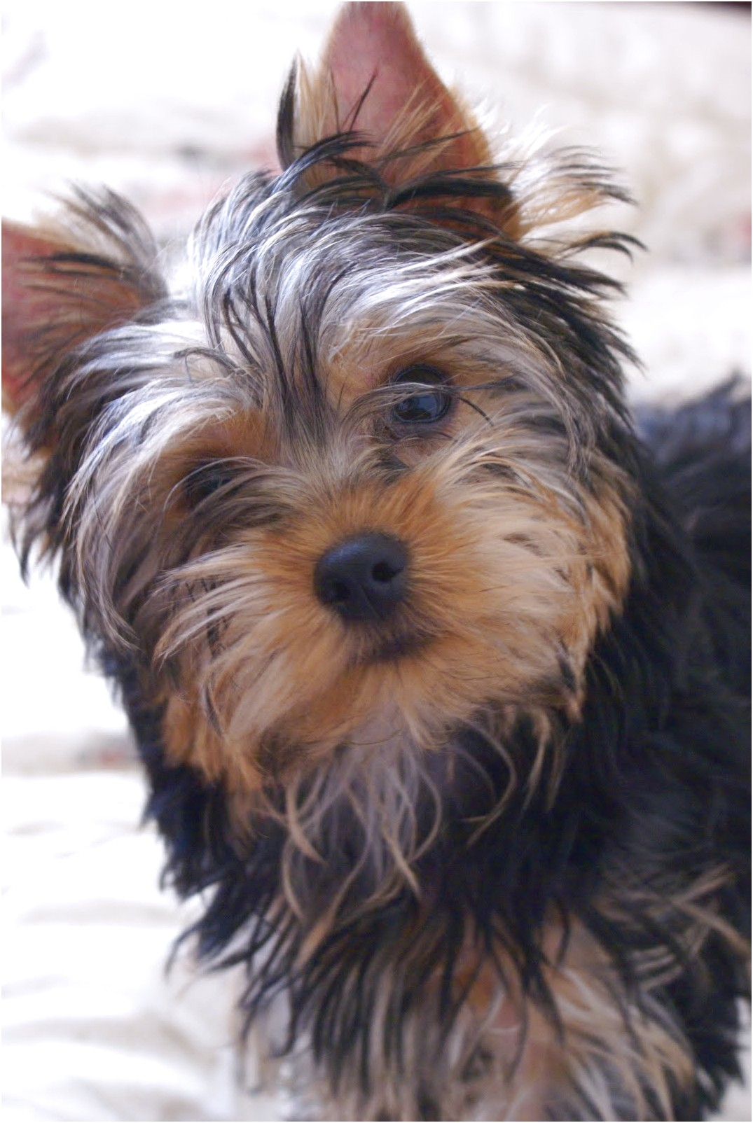 yorkshire terrier puppy 4 months