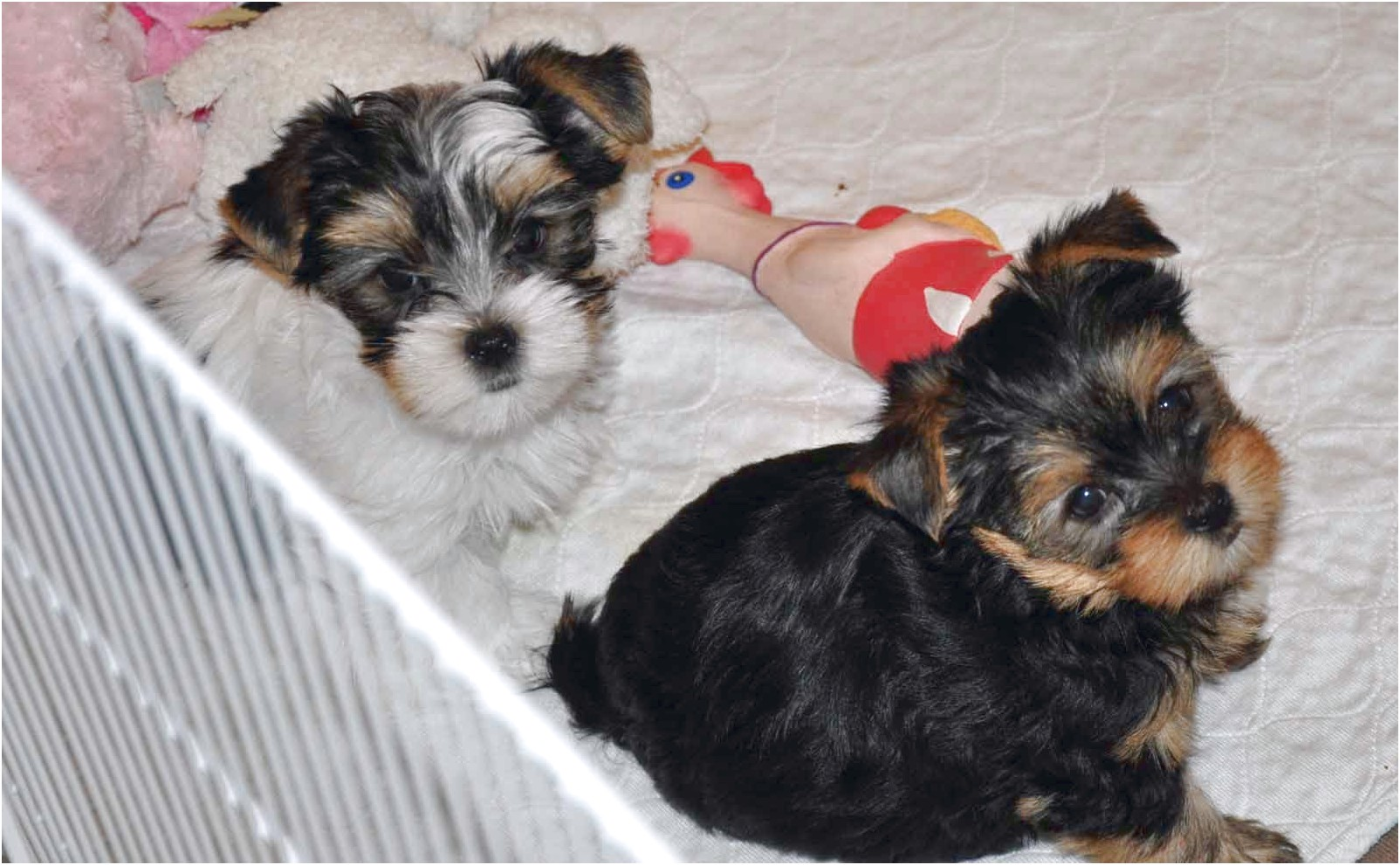 yorkshire terrier puppy 8 weeks old