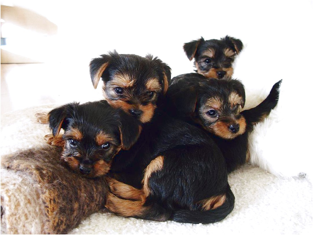 yorkshire terrier puppy adoption